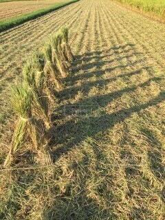 お米の収穫の写真・画像素材[3659788]