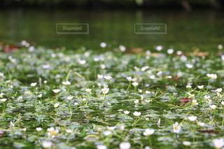 水中花の写真・画像素材[3772081]