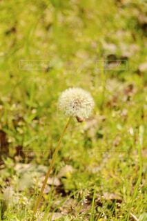 タンポポの写真・画像素材[4372467]