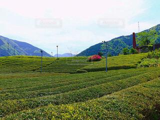 茶畑の写真・画像素材[4404931]
