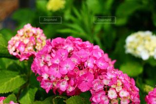 紫陽花の写真・画像素材[4549885]