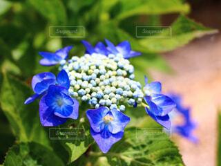 紫陽花の写真・画像素材[4564284]