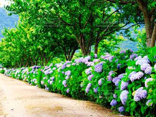 紫陽花の写真・画像素材[4567009]