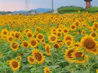 ひまわり畑の写真・画像素材[4686380]