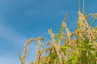 秋の収穫の写真・画像素材[4782280]