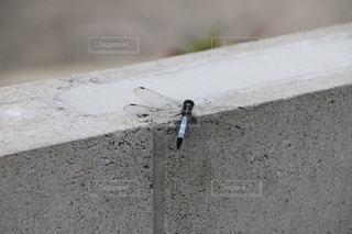 コンクリートに止まるトンボの写真・画像素材[3489709]