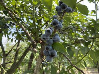 枝からぶら下がっているブルーベリーの写真・画像素材[3517812]