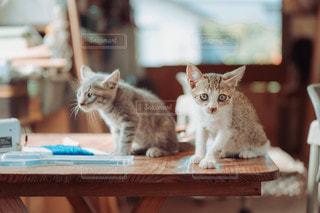 澄まし顔でテーブルに座る2匹の子猫の写真・画像素材[3490760]