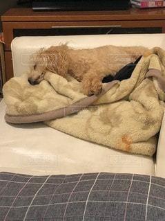 ベッドに横たわっている犬の写真・画像素材[3496796]