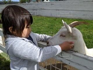 子供とヤギの写真・画像素材[3499409]