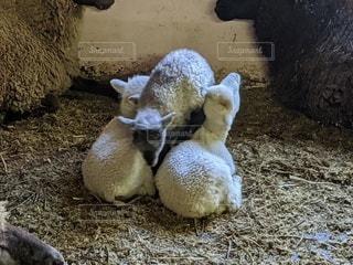 羊の赤ちゃんの写真・画像素材[3500185]