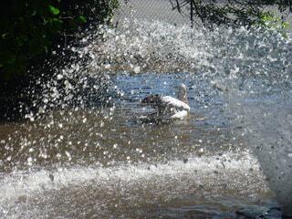 オーストラリアの鴨の写真・画像素材[3627879]