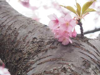 No.149361 桜