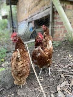 鶏の写真・画像素材[3505569]