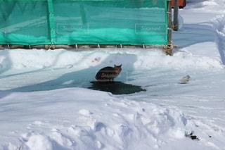 雪に覆われている猫の写真・画像素材[3597676]