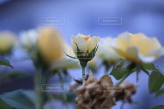花のクローズアップの写真・画像素材[3622662]