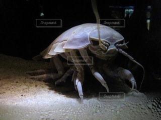 ダイオウグソクムシの写真・画像素材[3518610]