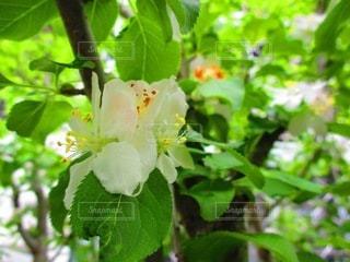 りんごの花の写真・画像素材[3521437]