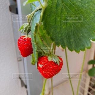 植物のクローズアップの写真・画像素材[3515609]