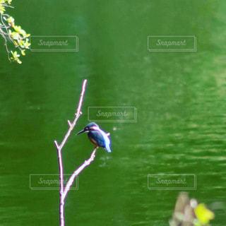 カワセミ kingfisherの写真・画像素材[3515608]