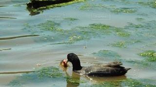 水の体で泳ぐアヒルの写真・画像素材[3565837]