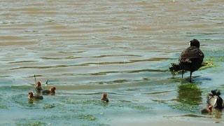 水の体で泳ぐアヒルの写真・画像素材[3565841]