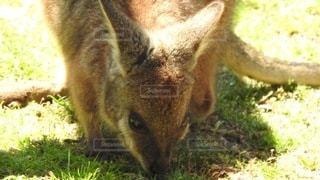 草の中に立っているカンガルーの写真・画像素材[3565854]