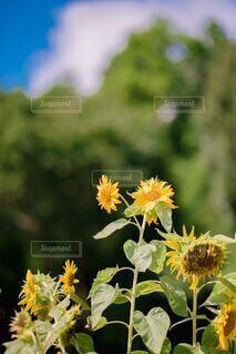 花のクローズアップ ひまわりの写真・画像素材[3692929]
