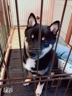 フェンスの前に座っている犬の写真・画像素材[3518370]