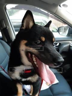 車の助手席に座っている犬の写真・画像素材[3518340]