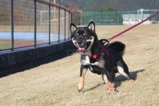 フリスビーで遊ぶ小型犬の写真・画像素材[3518349]