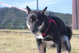 フリスビーを捕まえるためにジャンプする犬の写真・画像素材[3518351]
