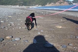 砂浜の上に立っている犬の写真・画像素材[3518356]