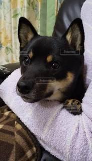 ベッドに横たわっている犬の写真・画像素材[3518355]