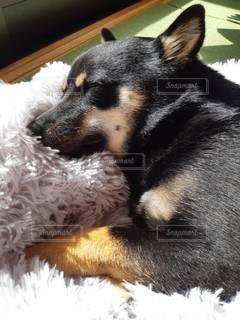 地面に横たわっている犬の写真・画像素材[3518367]