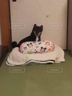 ベッドに横たわる猫の写真・画像素材[3518366]