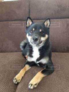 ソファに座っている犬の写真・画像素材[3518368]