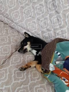 ベッドに横たわっている犬の写真・画像素材[3518376]