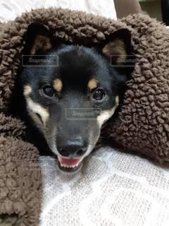 ベッドに横たわっている犬の写真・画像素材[3518374]