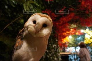 フクロウのクローズアップの写真・画像素材[3522574]