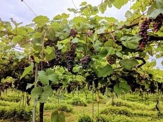 ワインぶどうの畑の写真・画像素材[3525859]