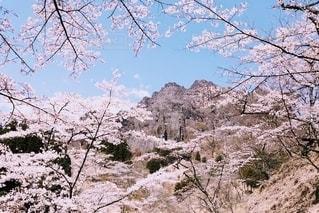 桜と妙義山の写真・画像素材[3527256]