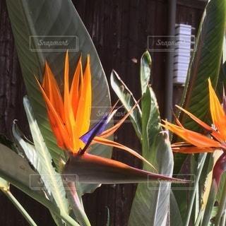 極楽鳥花の写真・画像素材[3523987]