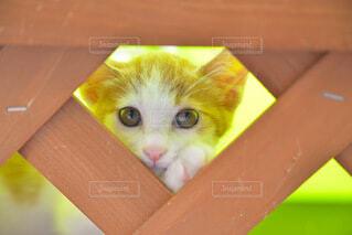 のぞき猫の写真・画像素材[3680569]