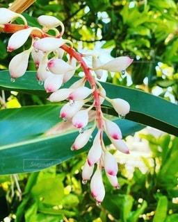 月桃の花の写真・画像素材[3534790]