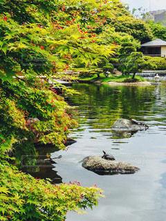 亀さんと紅葉の写真・画像素材[3557991]
