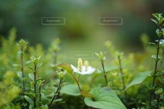 孤独なドクダミの写真・画像素材[3532979]