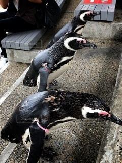 ペンギンの競争の写真・画像素材[3632739]