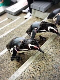 走るペンギンの写真・画像素材[3632754]