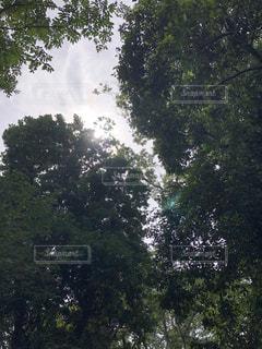 森の中の大きな木の写真・画像素材[3641001]